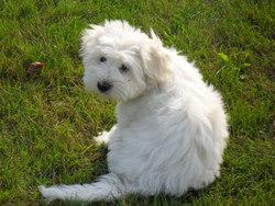 Jypsee , chien Coton de Tuléar