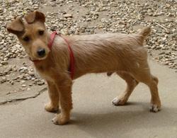 Filou, chien Fox-Terrier