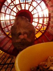 Filou , rongeur Hamster