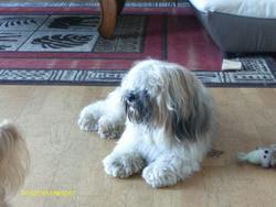 Filou, chien Lhassa Apso