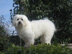 Filou, chien Bichon maltais