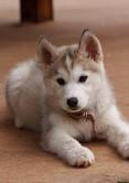 Filou, chien Husky sibérien