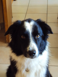 Filou, chien Border Collie