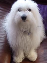 Filou, chien Coton de Tuléar