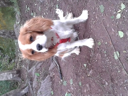 Filou, chien Cavalier King Charles Spaniel