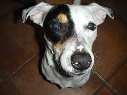 Filou, chien Jack Russell Terrier