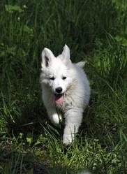 Filou, chien Berger blanc suisse