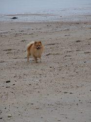 Filou, chien Spitz allemand