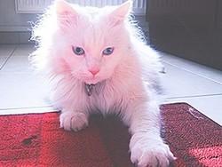 Filou, chat Angora turc