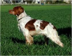 Filou, chien Épagneul breton
