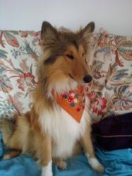 Filou, chien Colley à poil long