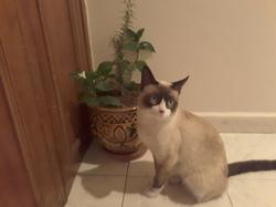Filou, chat Siamois