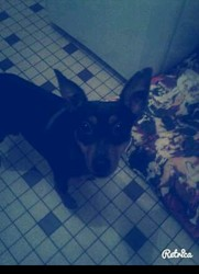 Filou, chien Pinscher