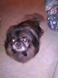 Filou, chien Pékinois