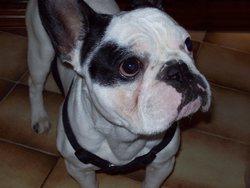Filou, chien Bouledogue français