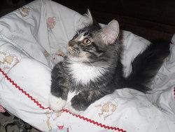 Filou De La Bastide Du Grenadier, chat Maine Coon