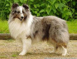 Filou Du Royaume D'Angelique, chien Berger des Shetland