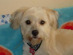 Filoup, chien Bichon maltais