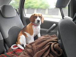Filoute, chien Beagle