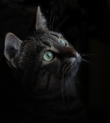 Filoute, chat Européen
