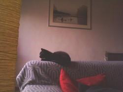 Filoux, chat Chartreux