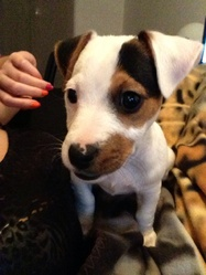 Filow, chien Jack Russell Terrier