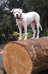 Fina Bianca Du Pays Mélusin, chien Dogue argentin