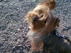 Fine, chien Yorkshire Terrier