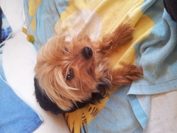 Finette, chien Yorkshire Terrier