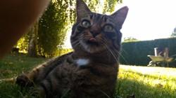 Finette, chat Européen
