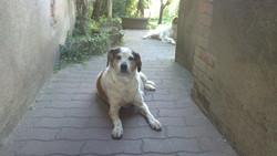 Finette, chien Épagneul breton