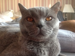 Finger, chat British Shorthair