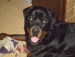 Fink, chien Rottweiler