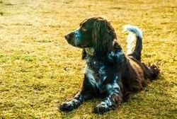 Finka, chien Springer anglais