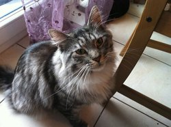 Finnegan Dit Finn, chat Maine Coon