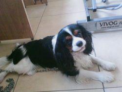 Fino, chien Cavalier King Charles Spaniel