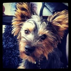 Fino, chien Yorkshire Terrier