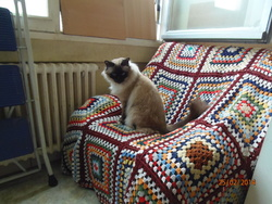 Finou , chat Birman