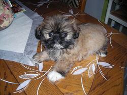 Fiona, chien Shih Tzu
