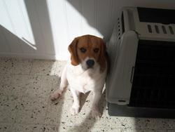 Fiona, chien Beagle
