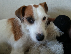 Fiona, chien Jack Russell Terrier