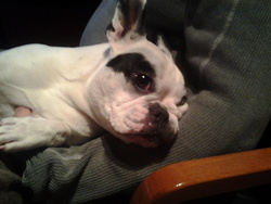Fiona, chien Bouledogue français