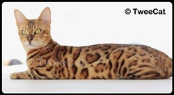 Fiona, chat Bengal