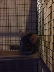 Fiona , rongeur Chinchilla