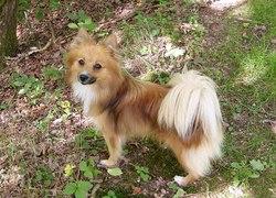 Fiona, chien Spitz allemand