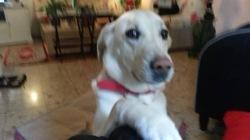 Fiona, chien Labrador Retriever