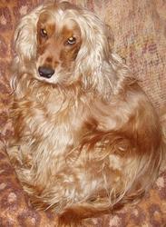 Fiona, chien Cocker anglais
