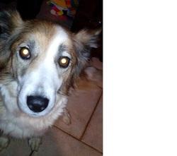 Fiona, chien Border Collie
