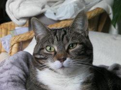 Fiona, chat Européen