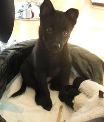 Fiona, chien Schipperke